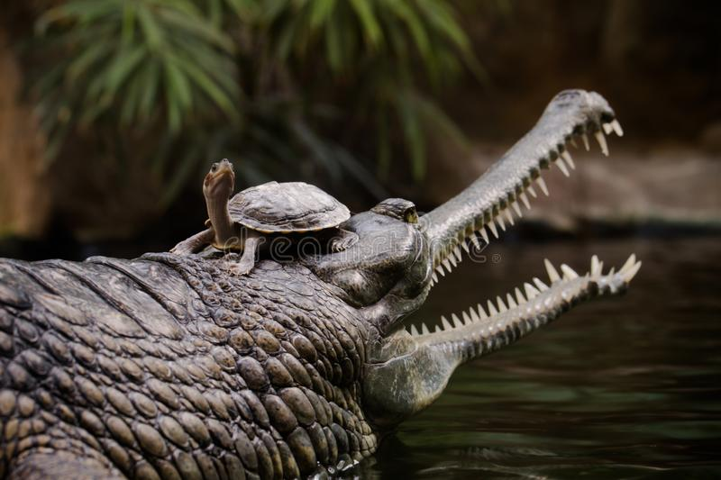 Gharial with a turtle on head royalty free stock photos