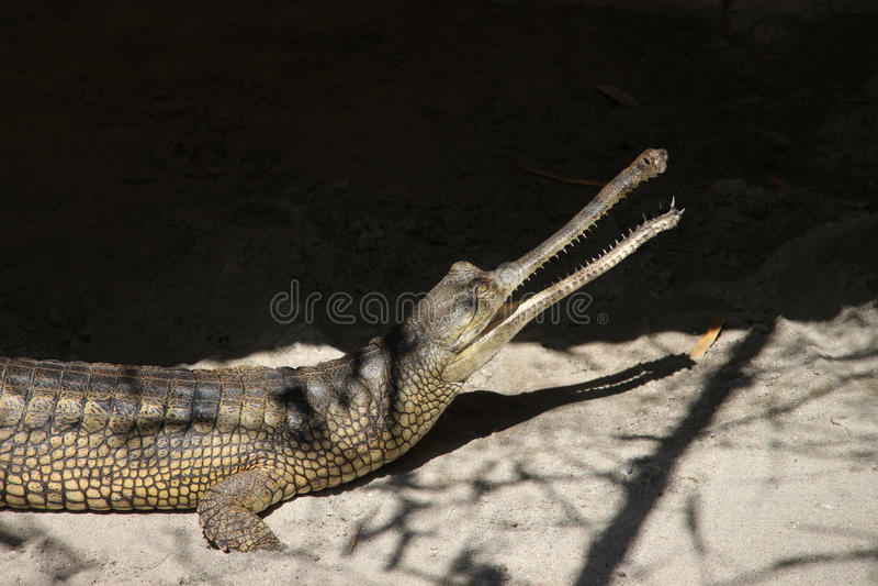 Gharial u. x28; Gavialis gangeticus& x29; stockfotos