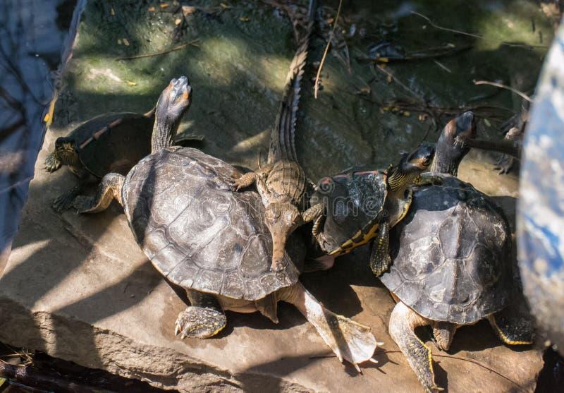 Ghariyal鳄鱼和被顶房顶的水龟 免版税库存照片