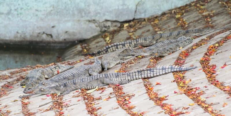 Ghariyal-Alligator lizenzfreies stockbild