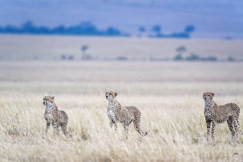 Ghepardi africani fotografie stock