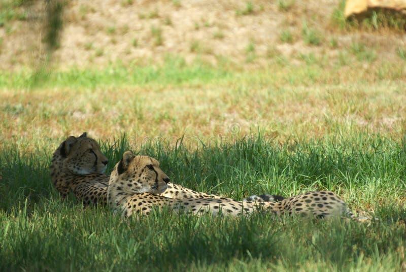 Ghepardi che risiedono nell'erba fotografia stock libera da diritti