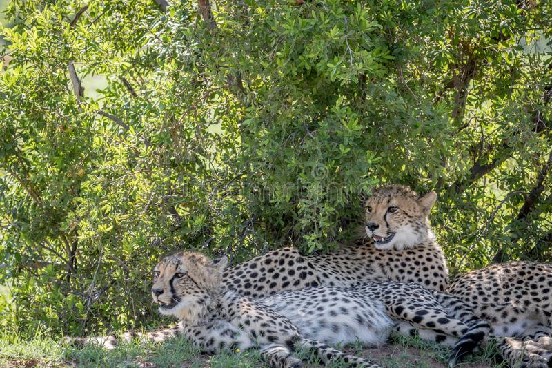 Ghepardi che risiedono nell'erba sotto un cespuglio fotografia stock libera da diritti