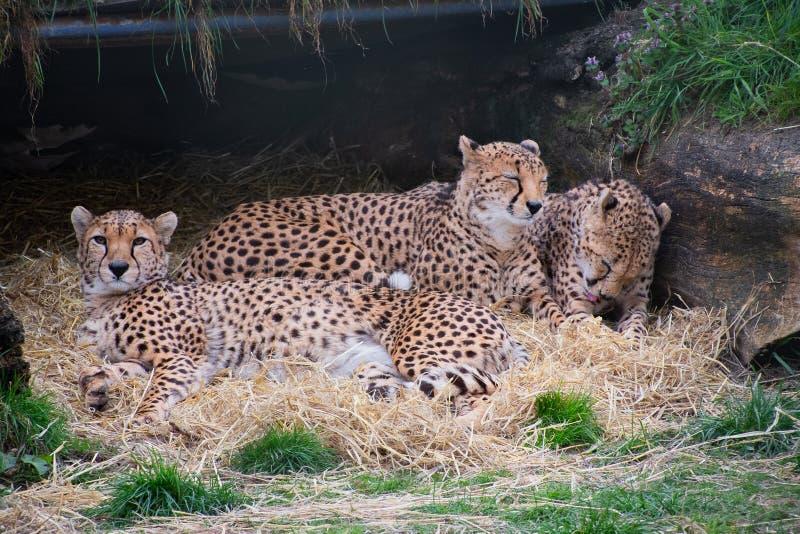 Ghepardi che si situano insieme e huddled immagine stock