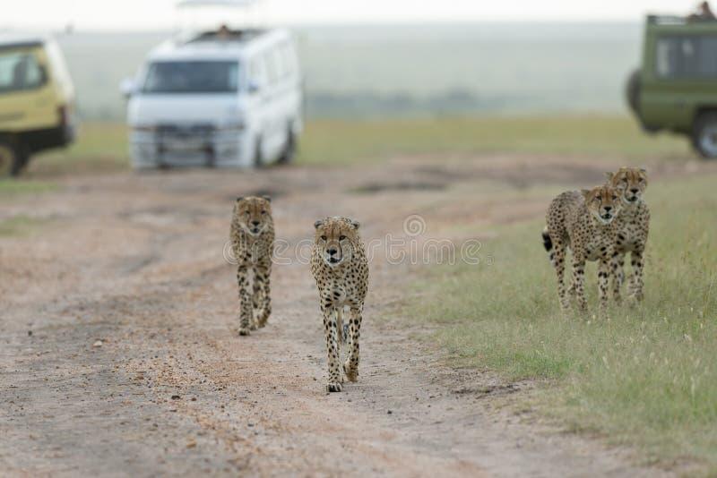 Ghepardi dei fratelli di coalizione ai masai Mara Game Reserve, Kenya fotografia stock