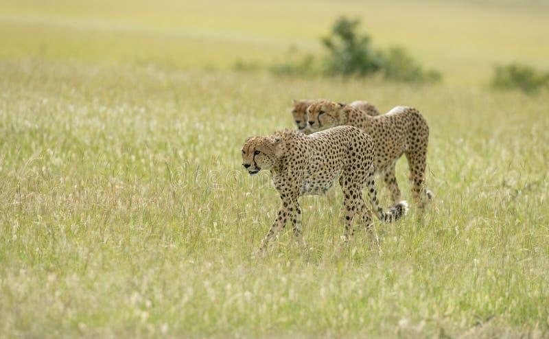 Ghepardi dei fratelli di coalizione che cercano la caccia ai masai Mara Game Reserve, Kenya fotografia stock