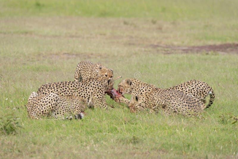 Ghepardi dei fratelli di coalizione che combattono per un'uccisione ai masai Mara Game Reserve, Kenya immagini stock