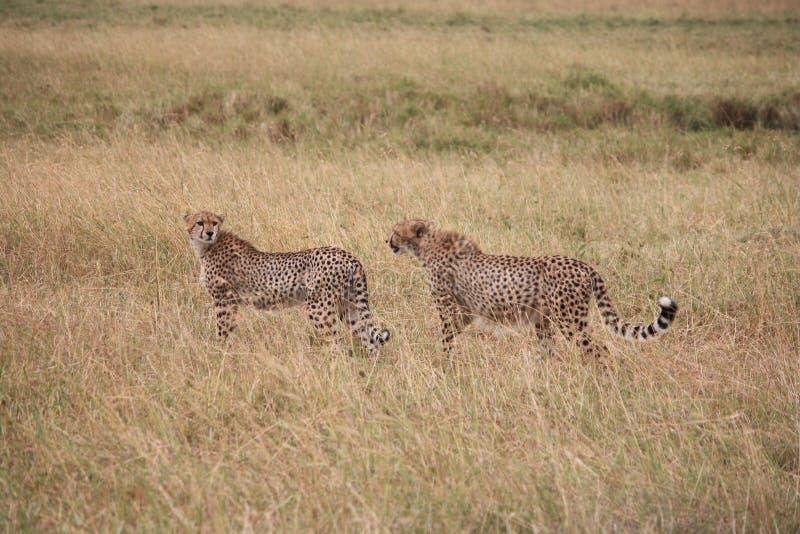 Ghepardi su Mara masai fotografie stock libere da diritti