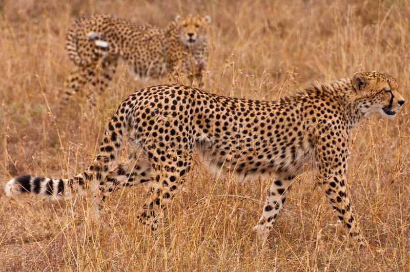 Ghepardi sul Prowl fotografie stock libere da diritti