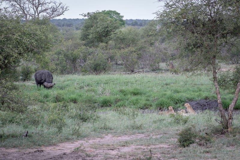 Ghepardi in una linea di drenaggio che esamina una Buffalo fotografia stock