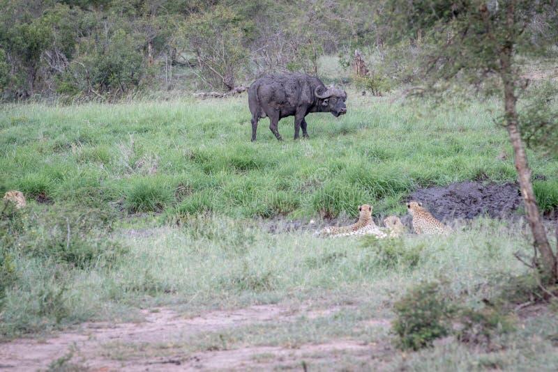 Ghepardi in una linea di drenaggio che esamina una Buffalo immagine stock libera da diritti