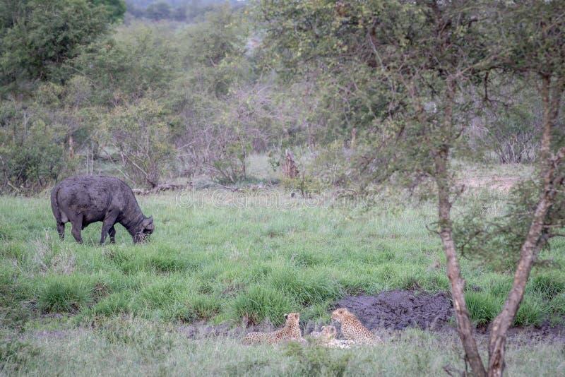 Ghepardi in una linea di drenaggio che esamina una Buffalo immagini stock libere da diritti