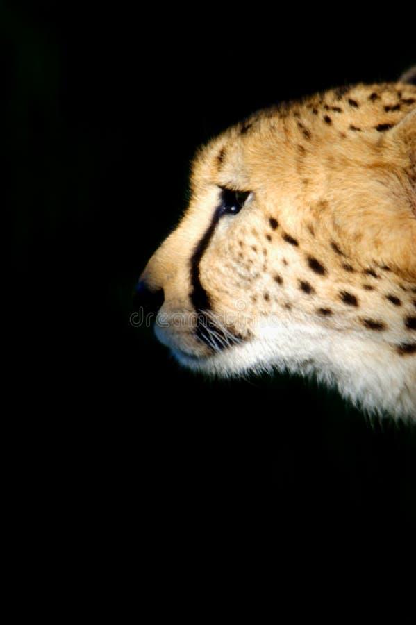 Download Ghepardo fotografia stock. Immagine di gatto, gatti, africano - 7322414