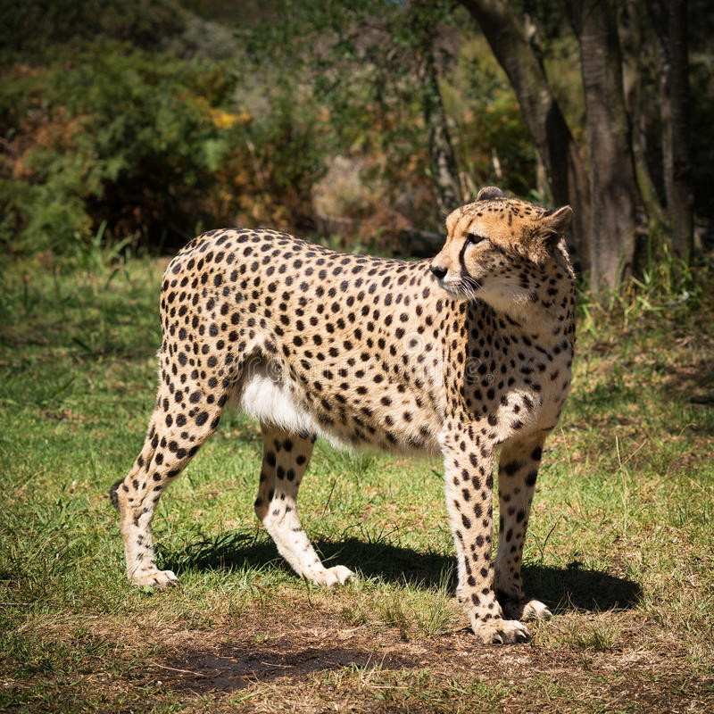 Ghepardo africano immagine stock