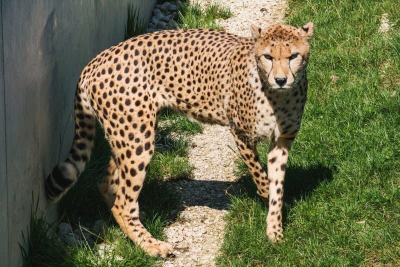 Ghepardo africano anteriore del primo piano che cammina sull'erba immagini stock libere da diritti