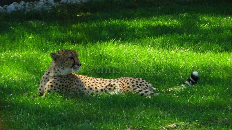 Ghepardo africano che si siede nell'erba fresca immagini stock