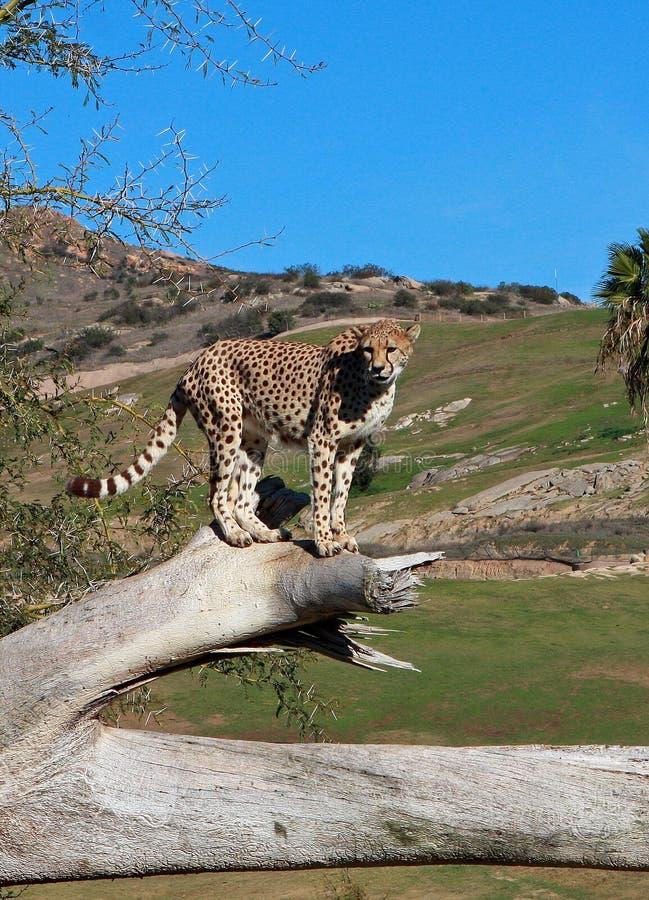 ghepardo africano del sud fotografia stock