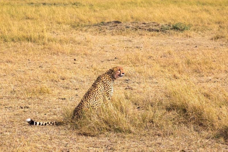 Ghepardo africano di seduta Masai Mara Il Kenia, Africa fotografia stock