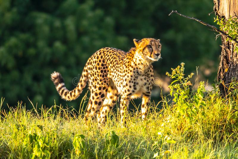 Ghepardo africano, masai Mara National Park, Kenya, Africa Gatto nell'habitat della natura Saluto del jubatus di acinonyx dei gat fotografia stock