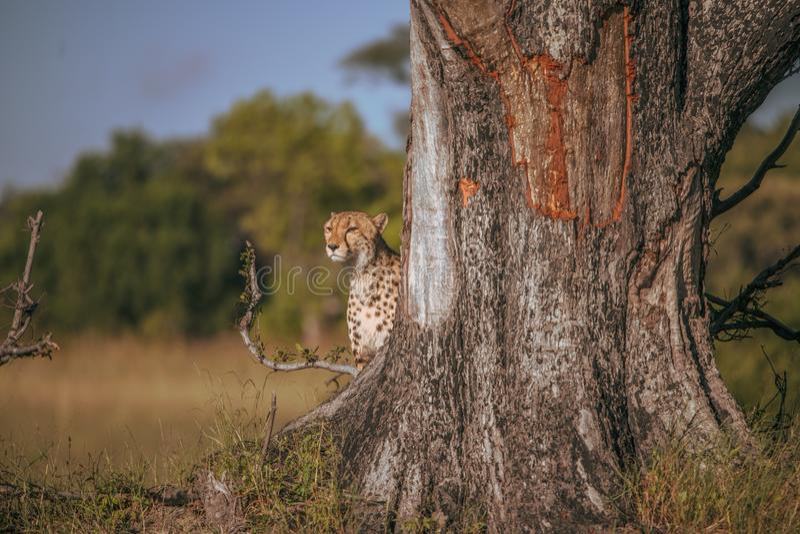 Ghepardo africano, masai Mara National Park, Kenya, Africa Gatto nell'habitat della natura Saluto del jubatus di acinonyx dei gat immagine stock