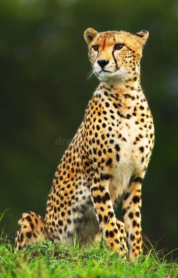 Ghepardo africano selvaggio