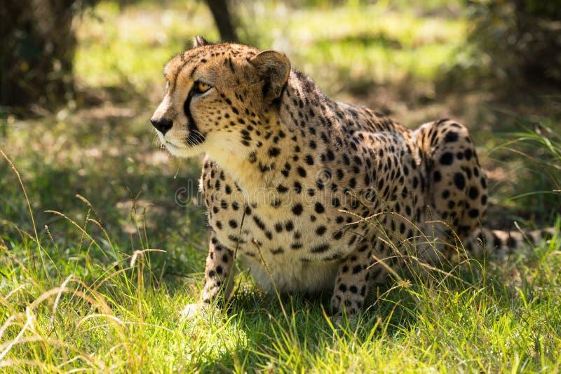 Ghepardo africano su erba immagini stock libere da diritti