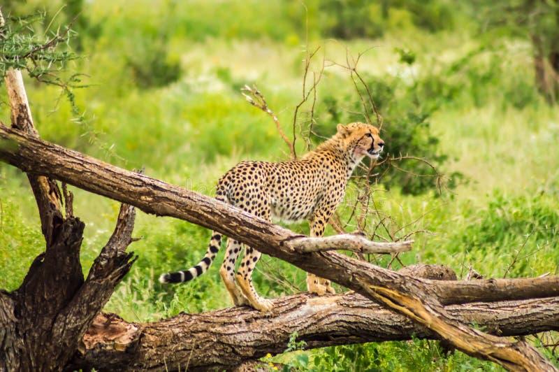 Ghepardo appollaiato su un albero morto in Samburu immagini stock libere da diritti