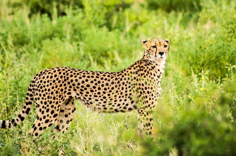 Ghepardo che cammina nella savana di Samburu fotografie stock