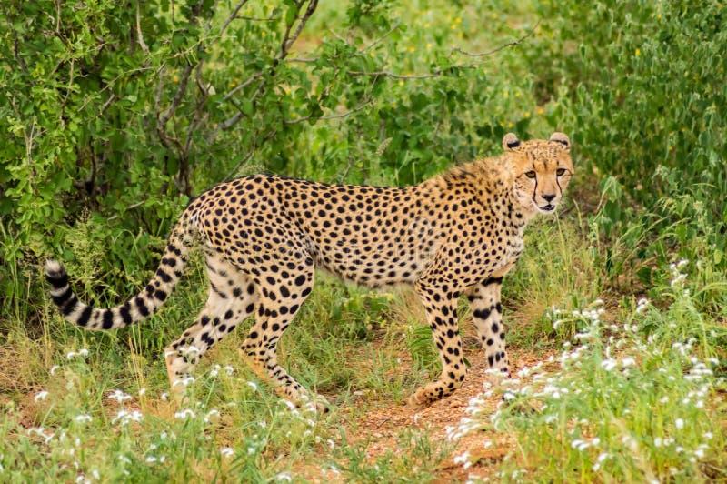 Ghepardo che cammina nella savana di Samburu fotografia stock libera da diritti