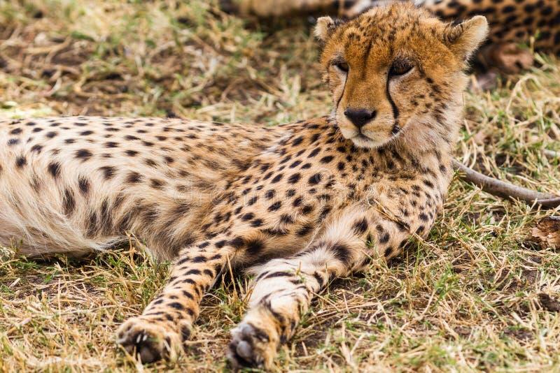 Ghepardo che riposa nella savana Masai Mara, Kenia fotografie stock