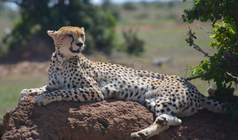 Ghepardo che riposa su una roccia fotografia stock