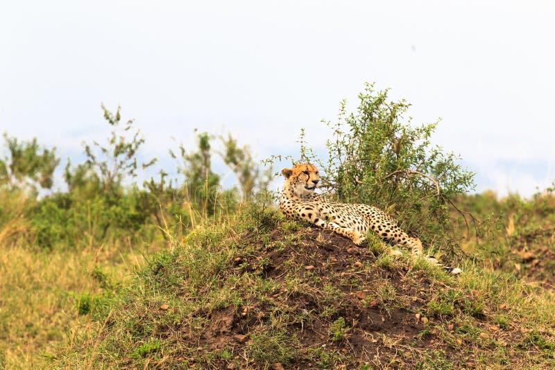 Ghepardo che riposa sulla collina Masai Mara, Kenia fotografia stock