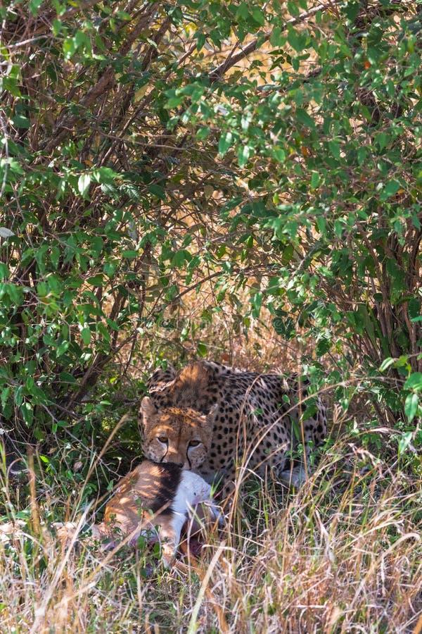 Ghepardo con bottino Bush dei masai Mara, Kenya fotografia stock