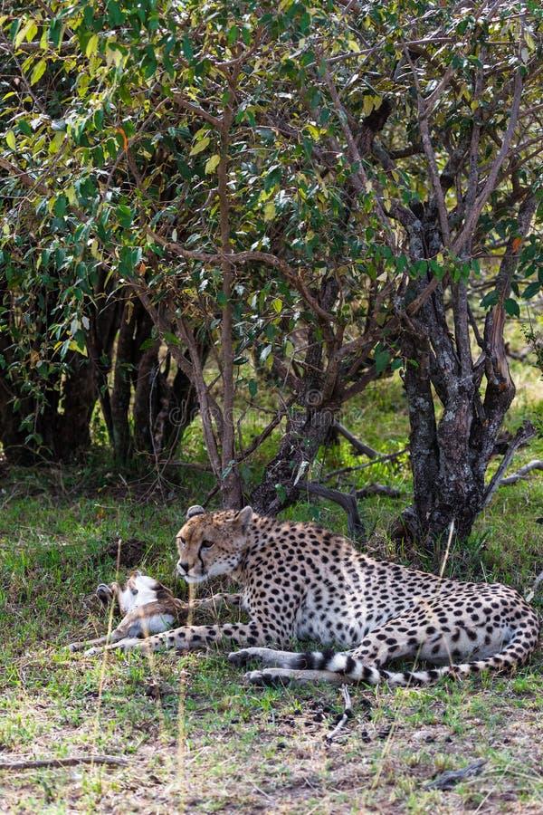 Ghepardo del pranzo in boschetti densi Masai Mara, Kenia fotografia stock libera da diritti