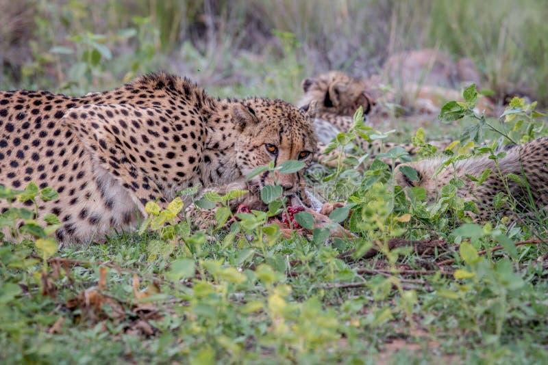 Ghepardo della madre con i cuccioli che si alimentano un'impala immagini stock