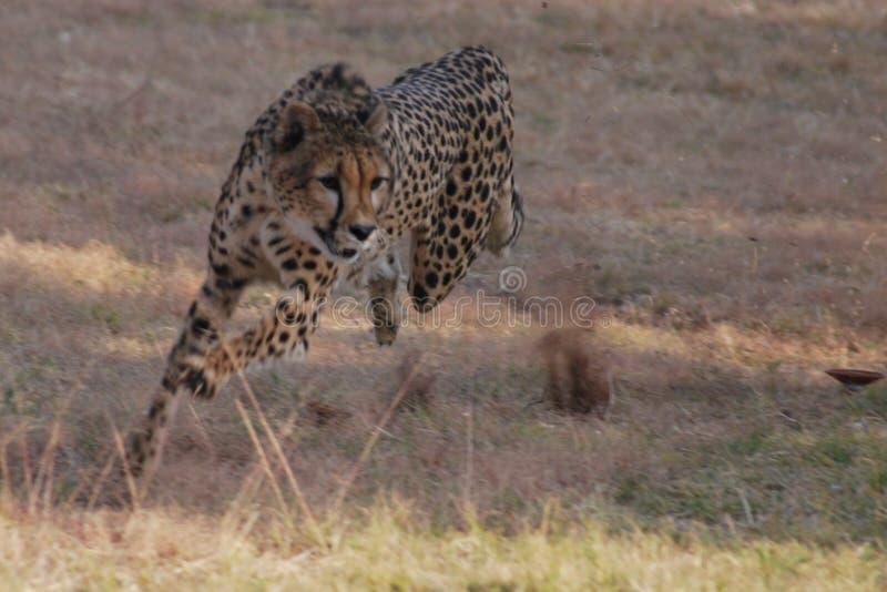 Ghepardo di caccia nel Sudafrica fotografia stock libera da diritti