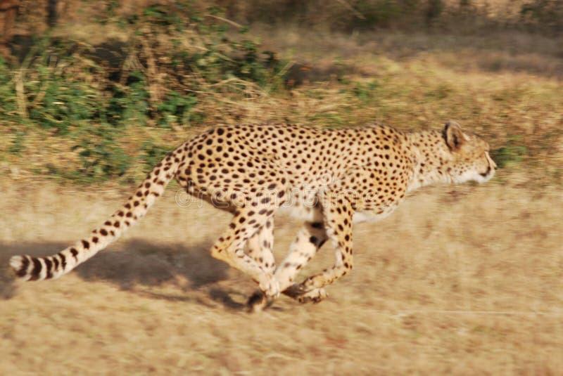 Ghepardo di caccia nel Sudafrica fotografia stock