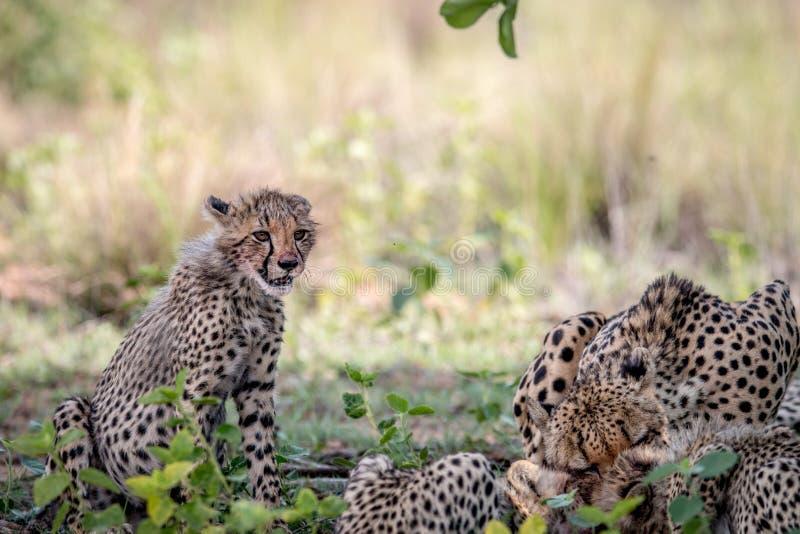 Ghepardo e cuccioli della madre che si alimentano un'impala fotografia stock