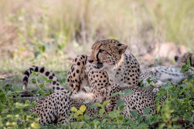 Ghepardo e cuccioli della madre che si alimentano un'impala fotografia stock libera da diritti