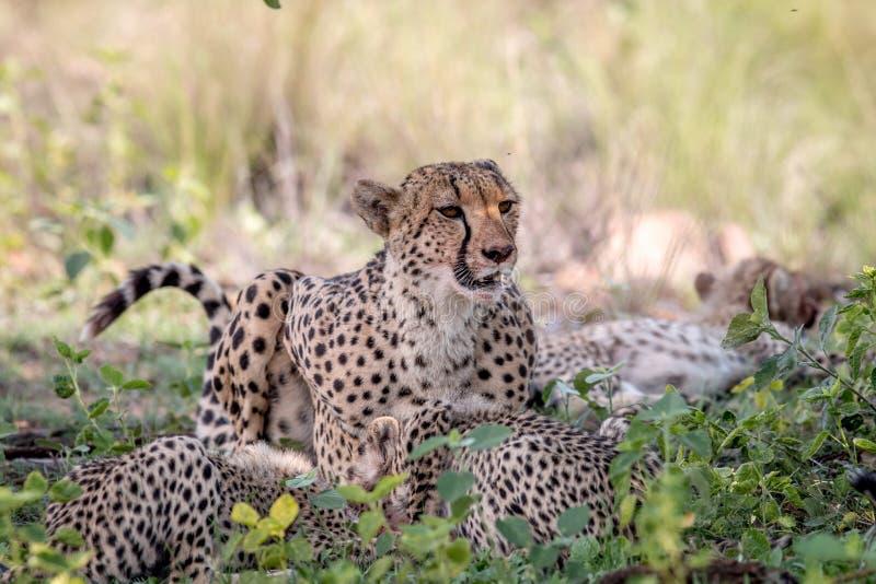 Ghepardo e cuccioli della madre che si alimentano un'impala immagine stock