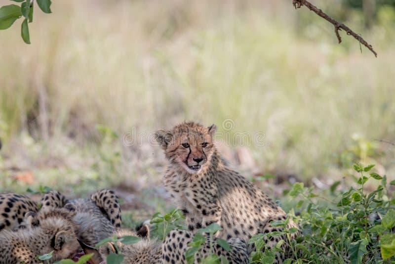 Ghepardo e cuccioli della madre che si alimentano un'impala fotografie stock