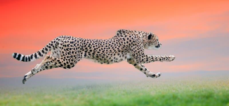 Ghepardo fatto funzionare al bello tramonto fotografia stock libera da diritti