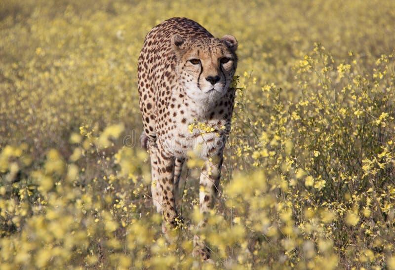 Ghepardo fra i fiori fotografia stock