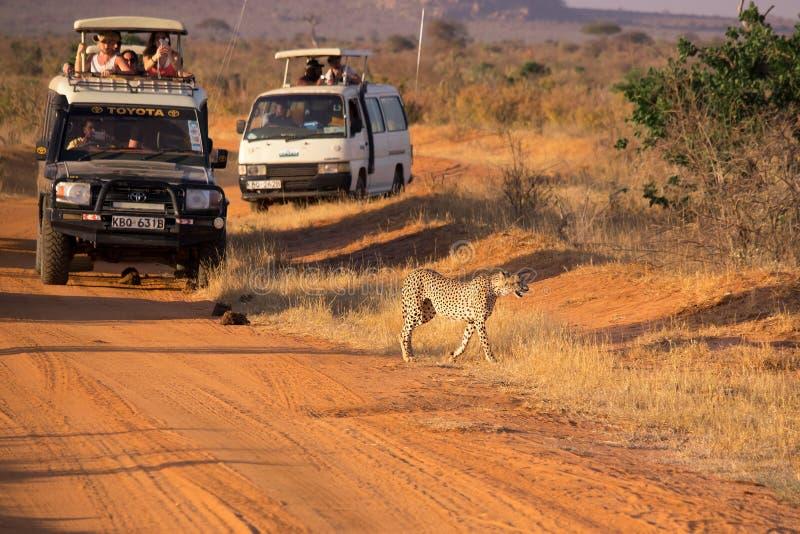 Ghepardo inseguito dai turisti immagine stock