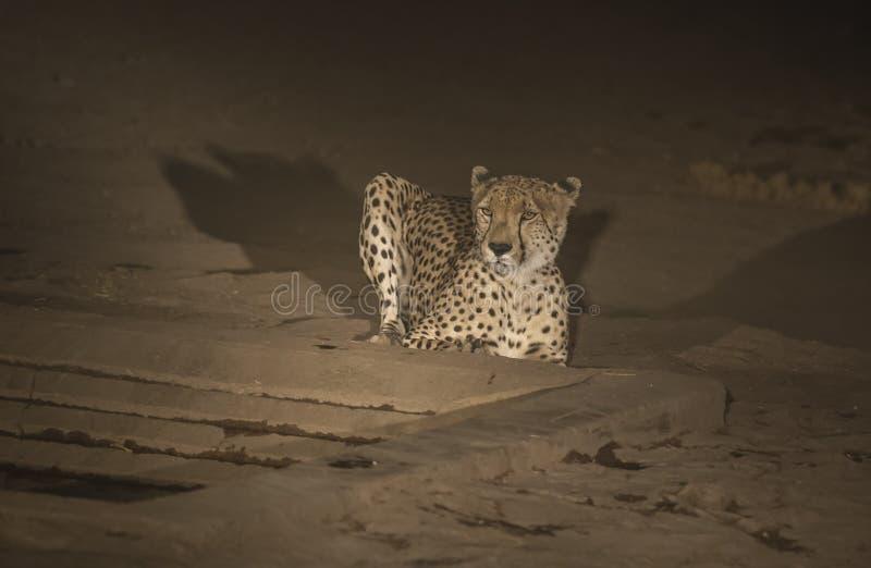 Ghepardo, jubatus di acinonyx, alla notte che si siede ma all'allarme fotografie stock libere da diritti