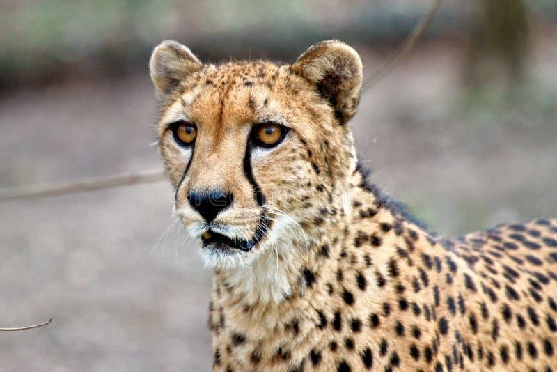 Ghepardo, jubatus di acinonyx, bello animale del mammifero nello zoo fotografie stock libere da diritti