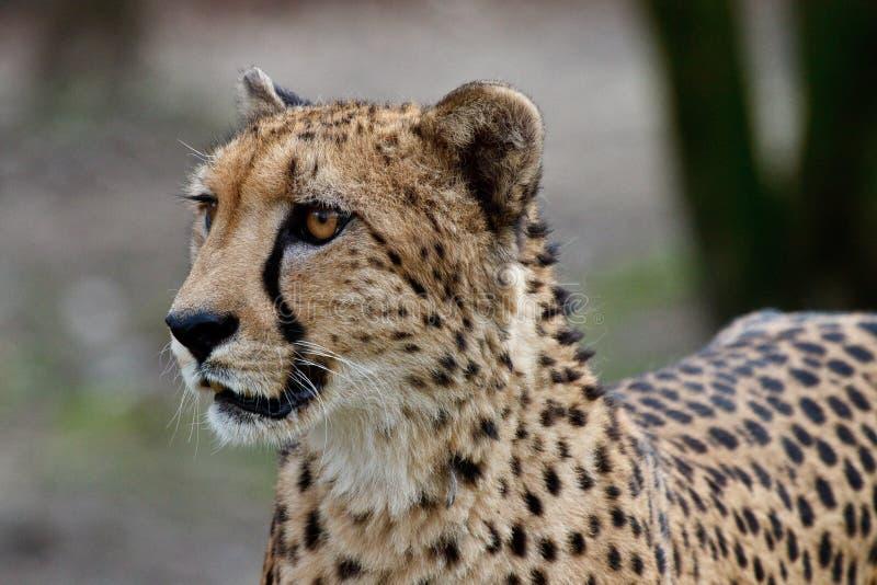 Ghepardo, jubatus di acinonyx, bello animale del mammifero nello zoo fotografia stock
