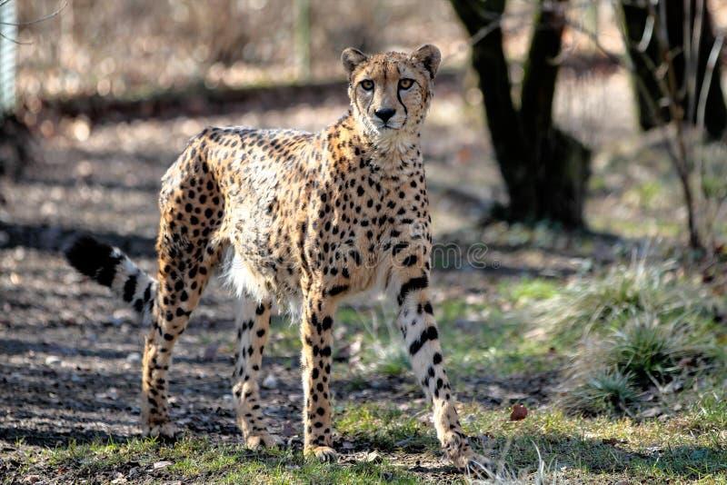 Ghepardo, jubatus di acinonyx, bello animale del mammifero nello zoo fotografia stock libera da diritti