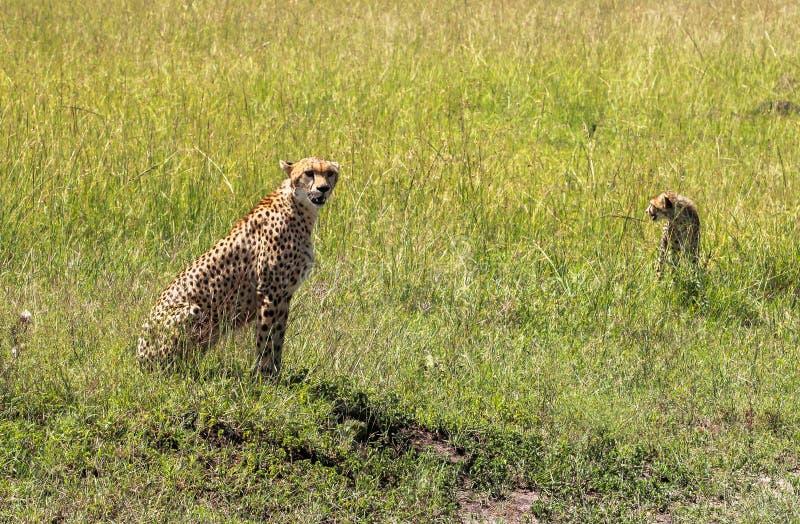 Ghepardo in Maasai Mara, Kenya fotografia stock