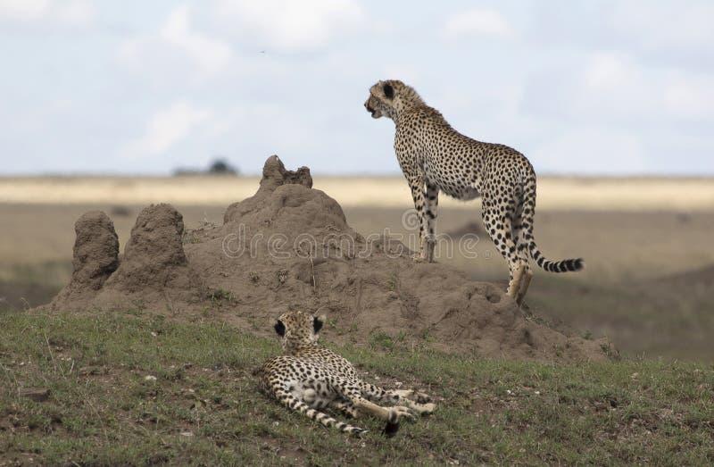 Ghepardo maschio che guarda fuori da un albero della termite immagini stock